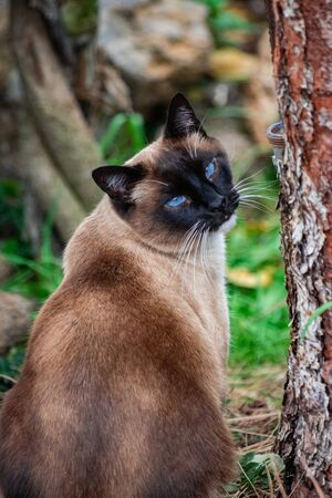 Tricolor domestic siamese male cat, sitting near a tree, and looking back