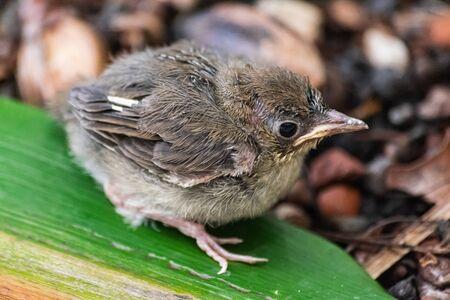 Eurasian blackcap chick
