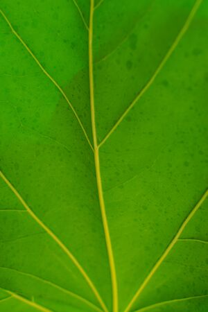 Oreopanax nymphaeifolius green leaves, veined leaves texture, close view