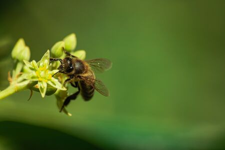 European honey bee (apis mellifera), pollinating avocado flower (persea americana)