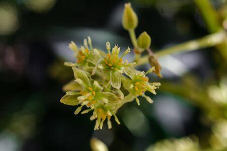 Avocado flowers (persea americana) blooming