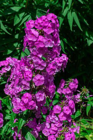 garden phlox (Phlox paniculata), blooming with sunlight and green vegetation background Фото со стока