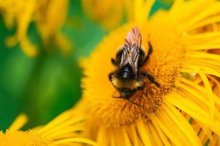 Bumblebee pollinating Elecampane flower, close view