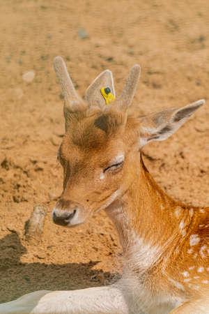 Young fawn Fallow deer, (dama dama), close head portrait Standard-Bild