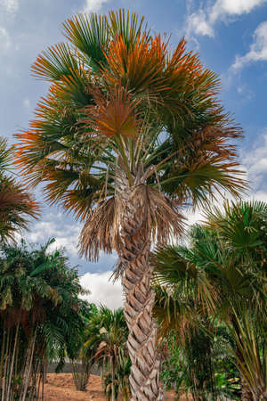 gebang palm, (Corypha), trunk and leaves close view Reklamní fotografie