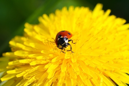 Ladybug on dandelion  photo