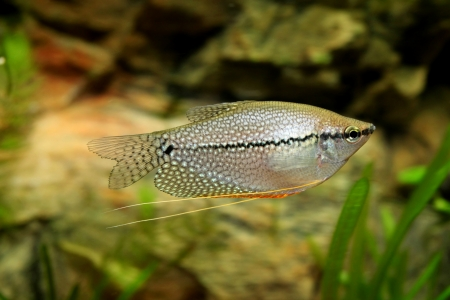 molly: Diamond gourami Stock Photo