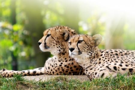 leopard cat: Cheetahs