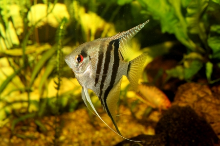 anubias: Un verde hermoso acuario plantado de agua dulce tropical con peces Pterophyllum scalare