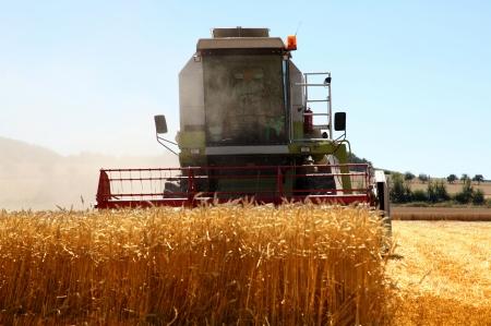 threshing: Working harvesting combine in the field of wheat