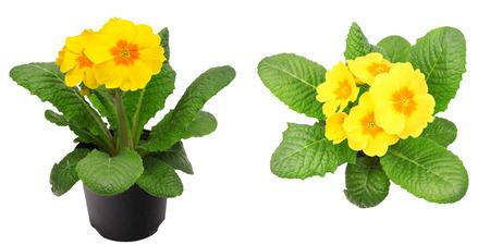 polyanthus: Yellow primrose isolated on white Stock Photo