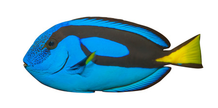 paracanthurus: Blue Tang, Regal Tang isolated on white background   Paracanthurus Hepatus