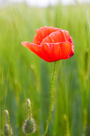 clear path: Red poppy in a wheat field Stock Photo