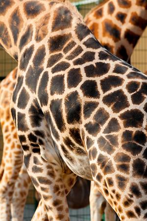 animal head giraffe: Photo showing a giraffe skin for a background Stock Photo
