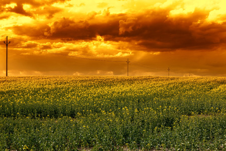 green fields: Rape field in the sunset Stock Photo
