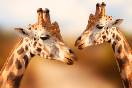 Portrait of giraffes on the brown background Stock Photo
