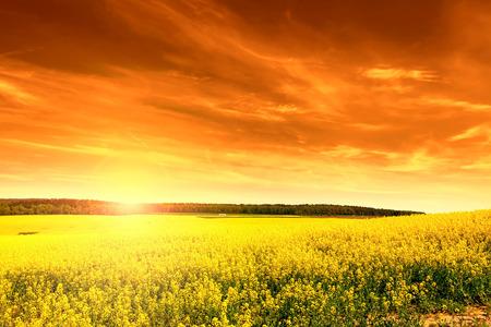 oil rape: Field of rape at sunset
