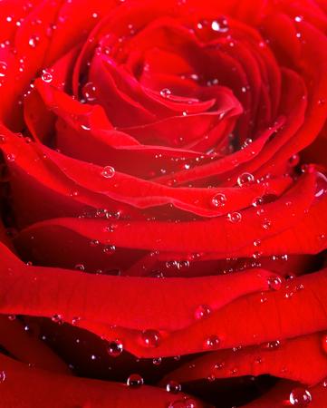 kropla deszczu: Red rose petals with rain drops closeup.Red rose.