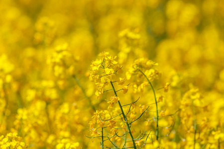 abloom: Flowering oilseed rapeseed Stock Photo