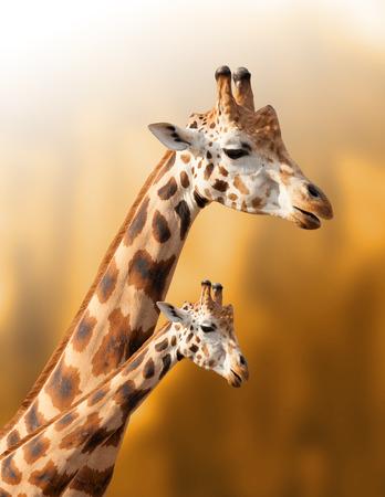 Madre y el bebé jirafa en el fondo natural