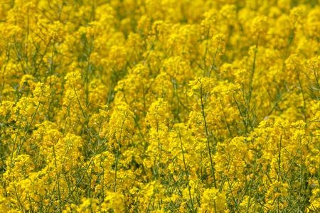 oilseed: Flowering oilseed rapeseed as background Stock Photo