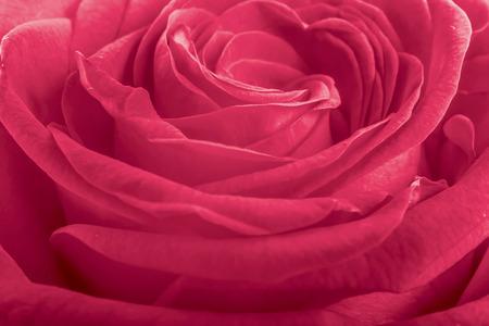 pink rose petals: Pink rose petals as background Stock Photo