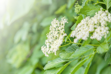 White elderberry blossoms in the background of thick, bright green leaves of ITS