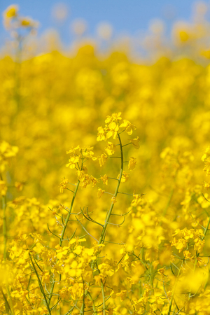 abloom: Flowering oilseed rapeseed as background Stock Photo