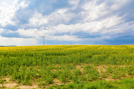 rapaseed: Yellow oilseed flower field and cloudy sky
