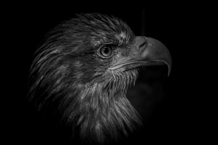 lenticular: Eagle on black background