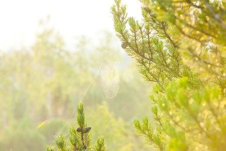 木 々の間のクモの巣
