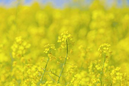 Flowers of the oilseed rape plant Stock Photo