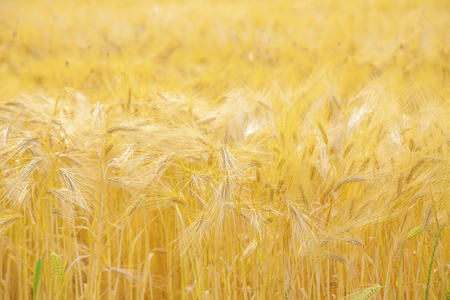 Barley field with ripe and gold barley crops Stock Photo