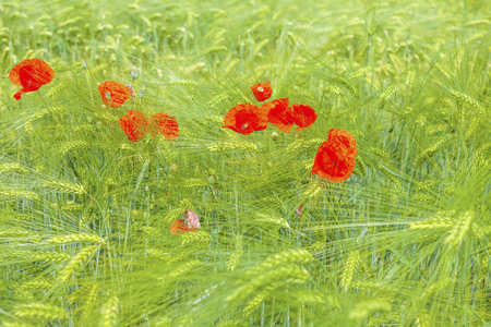 Red poppies in barley field Stock Photo