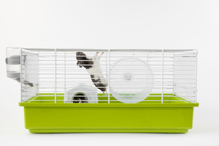 Syrian hamster is climbing in green cage Stock Photo