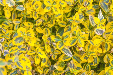 Yellow and green leaves of an ornamental plant in the garden