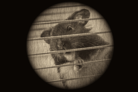 Cute funny Syrian hamster looking out of the cage