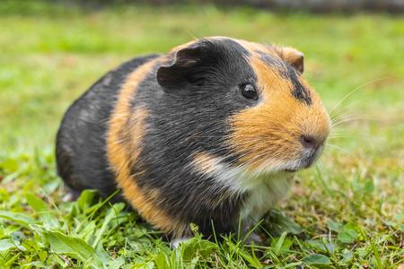 A sweet little fat pig enjoying the grass Stock Photo