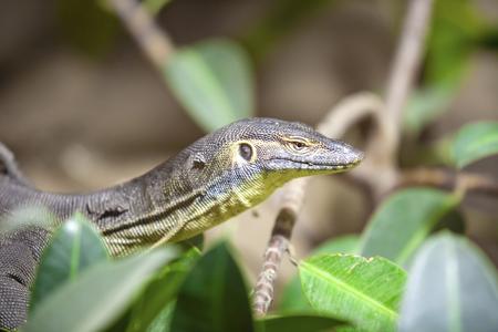 The Water Monitor, (Varanus salvator), the large species of monitor lizard
