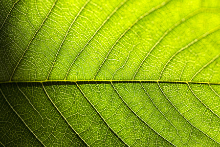Green leaf as natural background