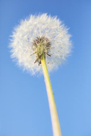 Dandelion on a blue background. Detail of a flower.