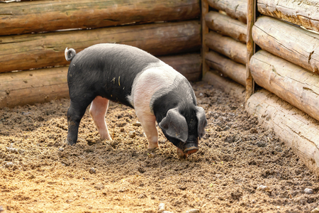 Black and white pig in a wooden enclosure Imagens