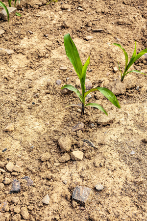 Young corn plant on a dry field
