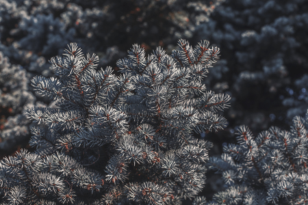 Silver spruce branches as natural background