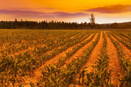 Sunrise over the corn field Imagens