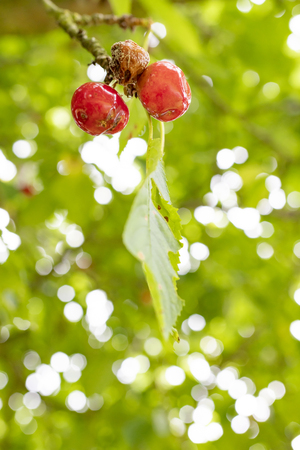 The rotten moldy cherry with green leaves. Green bokeh background.