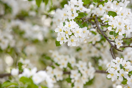 A closeup view of white spring cherry blossoms in full bloom on a tree branch. Imagens