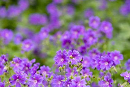 Campanula spring flowers as abstract background