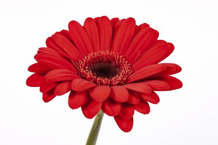Red Gerbera flower closeup isolated on white background