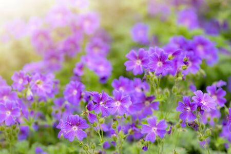 Campanula spring flowers as background